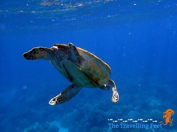 a turtle with a remora