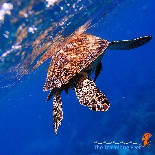 the camera shy sea turtle