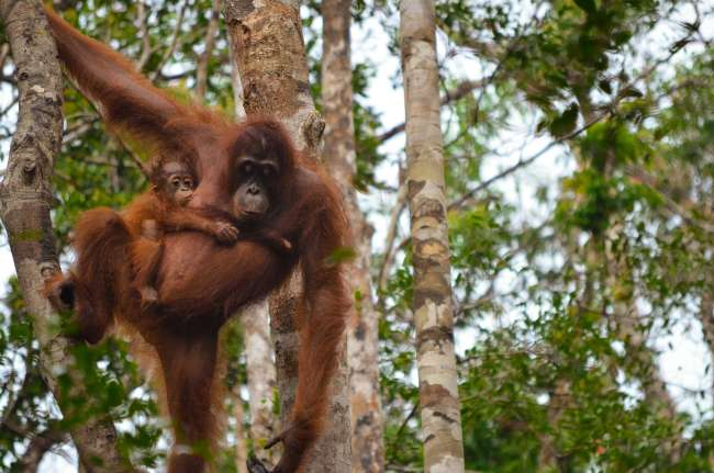 Mother and baby orangutan with Orangutan Applause in Tanjung Puting national park, Borneo, Indonesia