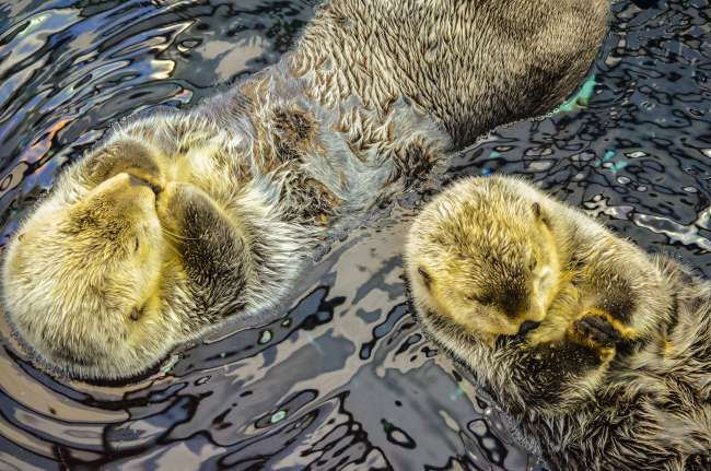 A pair of sea otters at Lisbon Aquarium in Lisbon, Portugal