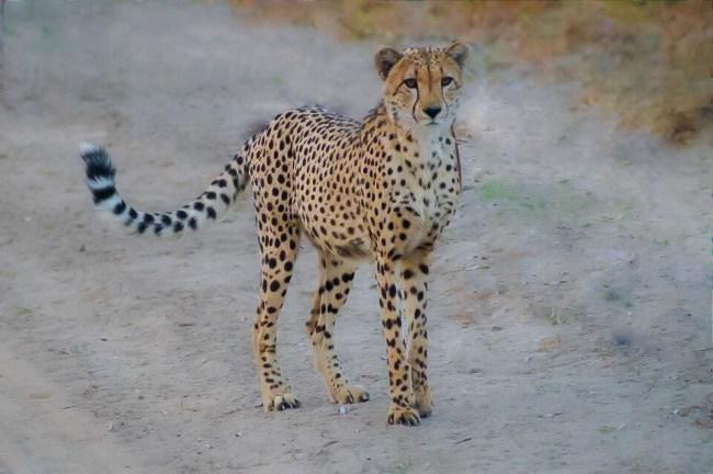 Safari in Kruger National Park - Cheetah