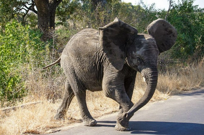 Safari in Kruger National Park - Baby elephant crossing the road