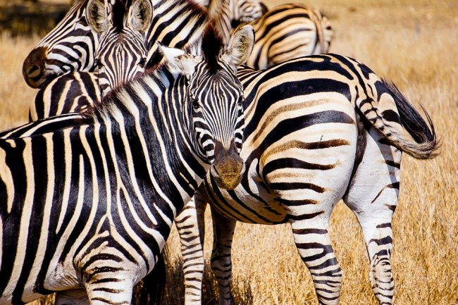 Safari in Kruger National Park - Herd of zebra