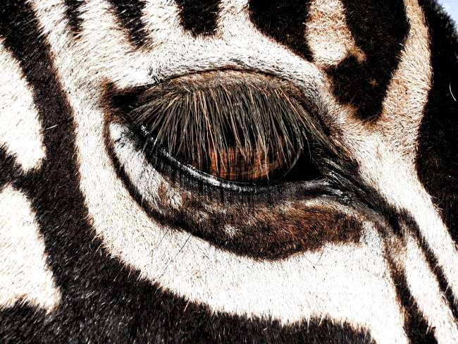 Safari in Kruger National Park - Zebra close up eye