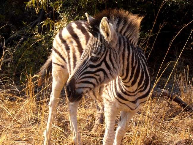 Safari in Kruger National Park - Baby zebra
