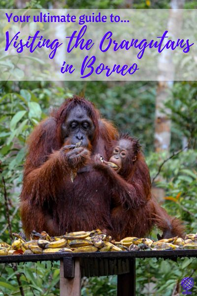 VISITING THE  ORANGUTANS IN BORNEO