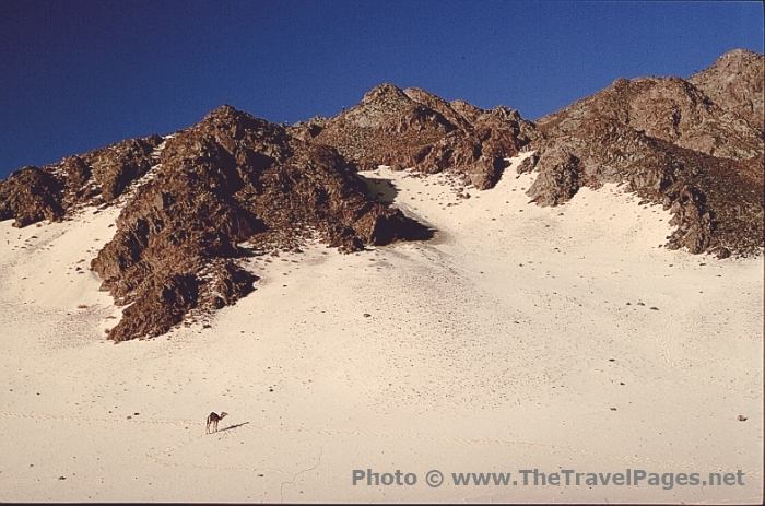 Camel in the Sinai Desert in Egypt