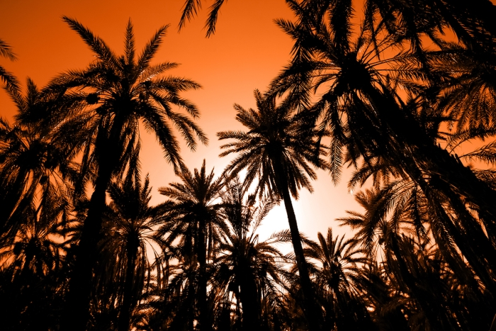 Date Palms at Sunset in Tozeur, Tunisia