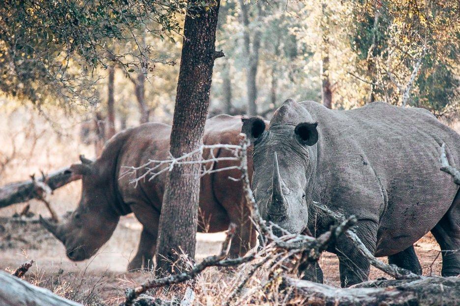 The rhinoceros eye us cautiously at Hlane Royal National Park, Swaziland