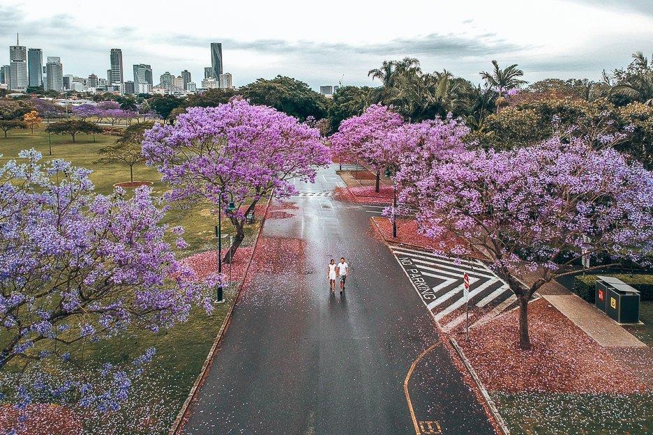 An aerial view of jacarandas in bloom in New Farm Park, Brisbane Australia