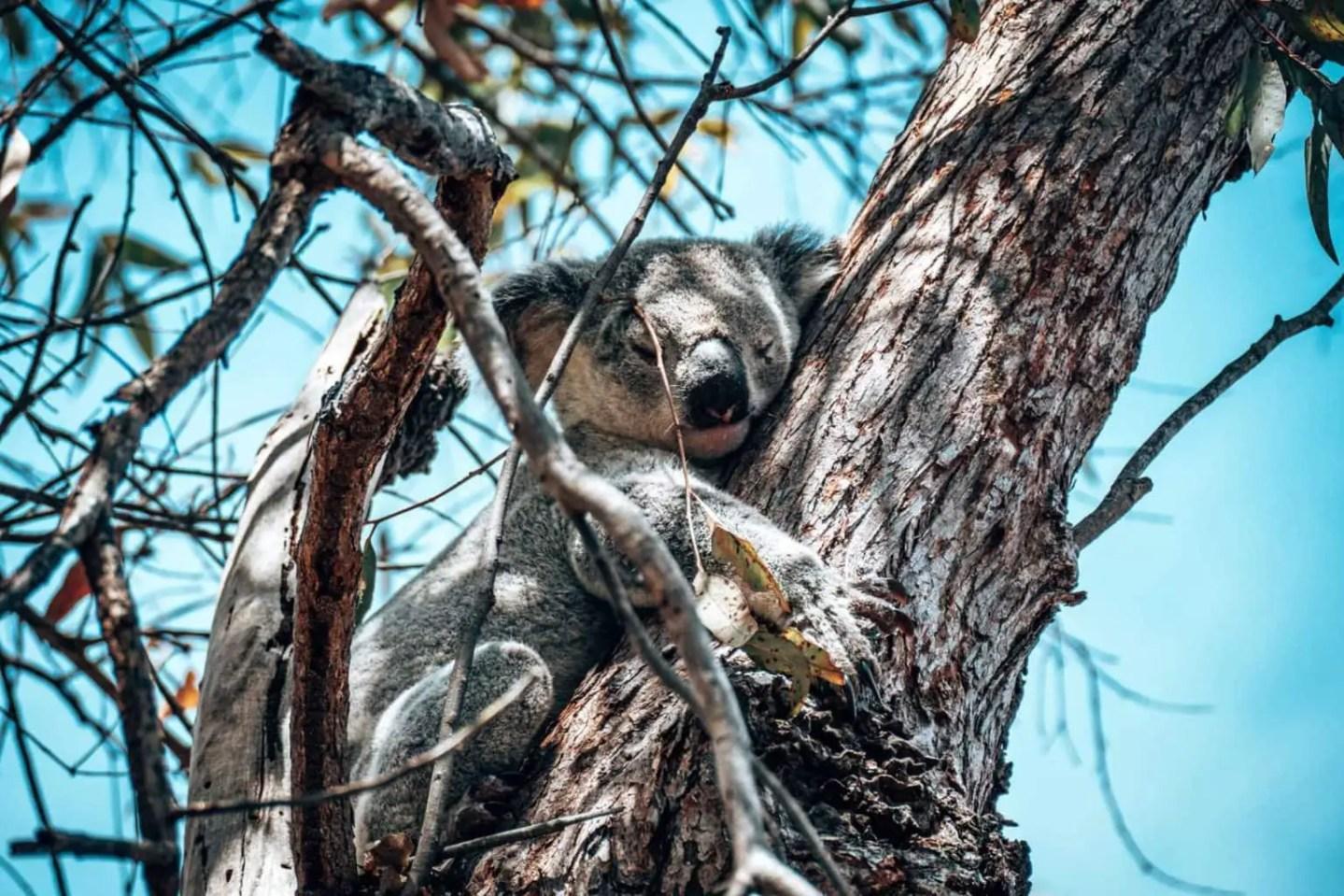 Koalas on the Fort Walk