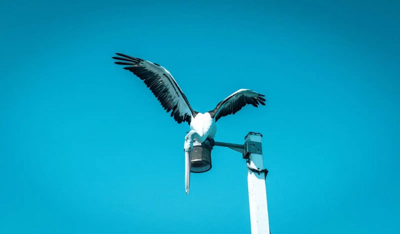 Urangan Pier pelican