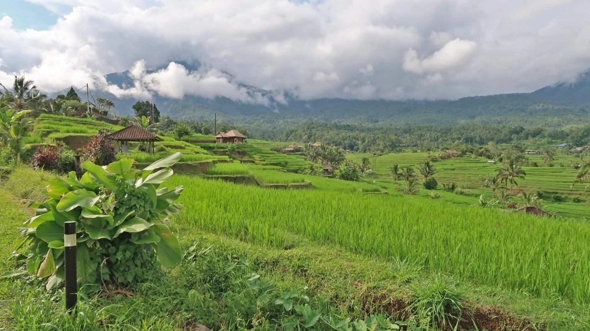 Quieter rice fields - Jatiluwih