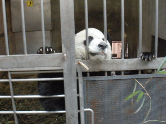 Volunteer with Pandas in China at the panda base in chengdu