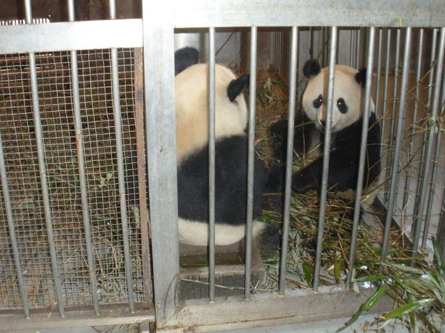 feeding giant pandas was one of the things we did for the panda volunteer program in Chengdu china