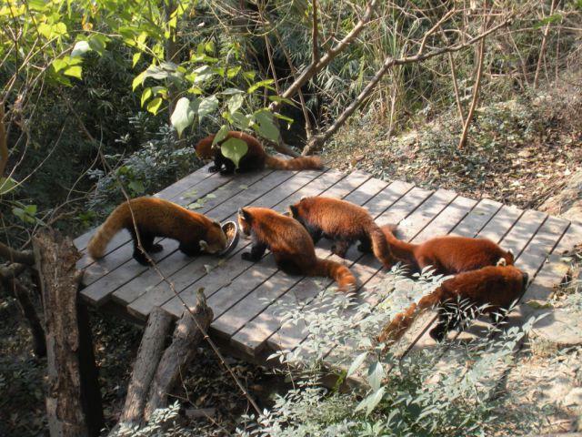 two days in chengdu panda base red pandas