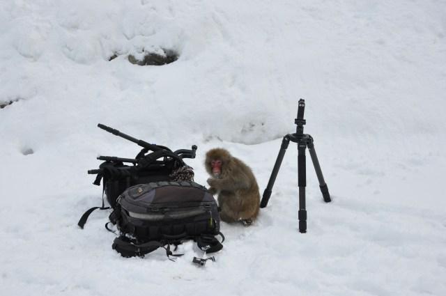 Jigokudani wild monkey Park in Japan