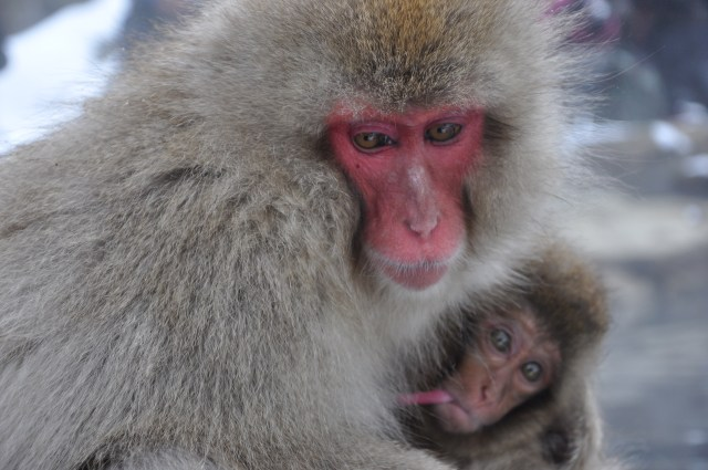 japan show monkeys nagano Snow monkeys Japan breast feeding