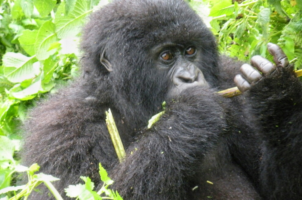 Rwanda Gorilla Trekking: Tips for An Unforgettable Experience