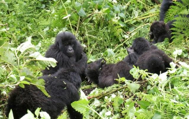 rwanda gorilla tracking mountain gorillas