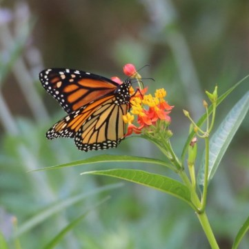 Monarch sipping nectar from Milkweed plant in my backyard