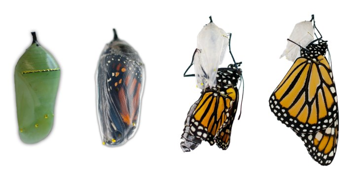 raising monarch butterflies at home eclosing