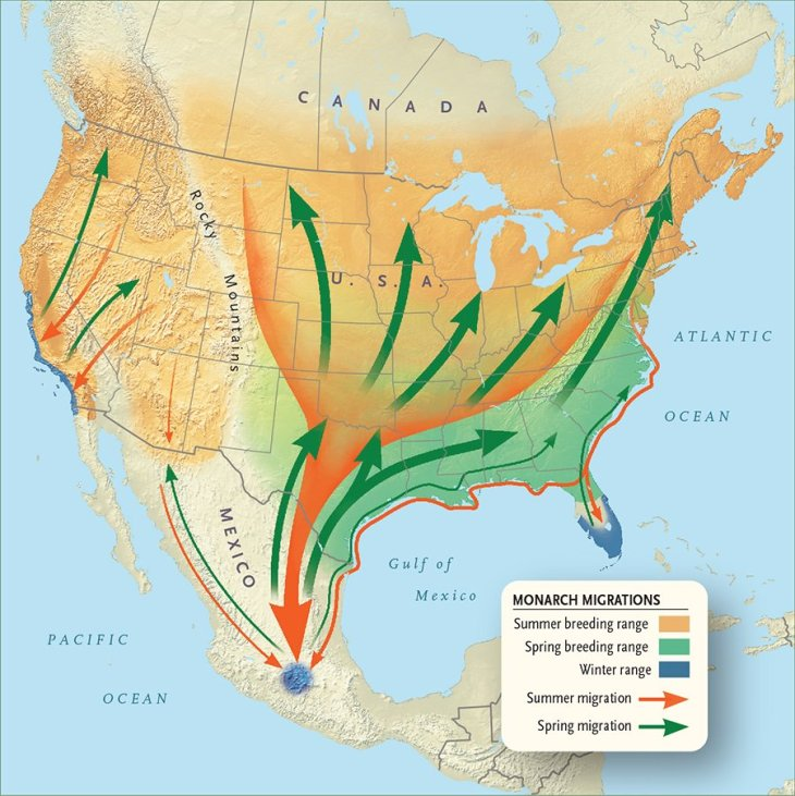 raising monarch butterflies migration