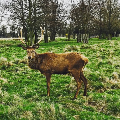 The Deer at Richmond Park