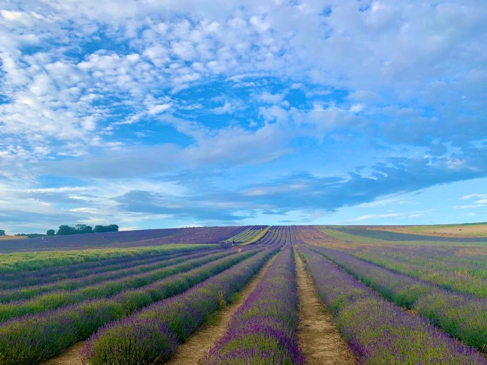 Lavender farms near London