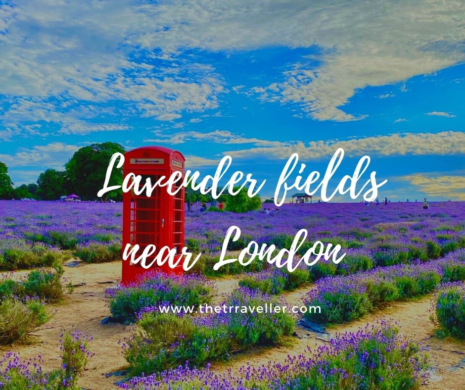 Lavender Fields near London