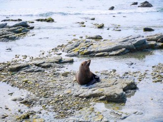 A seal enjoying the sunshine on the rocks at the Fyfe Quay Seal Colony - Driving from Christchurch to Marlborough - The Trusted Traveller