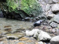 An inquisitive seal pup venturing out of the water at the Ohau Stream Waterfall - Driving from Christchurch to Marlborough - The Trusted Traveller