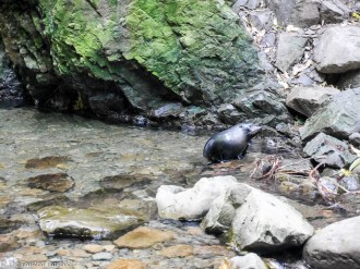 An inquisitive seal pup venturing out of the water at the Ohau Stream Waterfall - Driving from Christchurch to Marlborough - The 澳洲幸运五开奖记录中国体彩