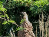 A curious meercat at Disney's Animal Kingdom - Guide to the Orlando Theme Parks - The Trusted Traveller