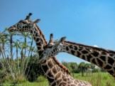 Giraffe on safari at Disney's Animal Kingdom - Guide to the Orlando Theme Parks - The Trusted Traveller