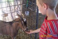 Jajo_goat
