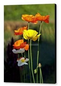 Early Summer Sun - Photograph on Canvas
