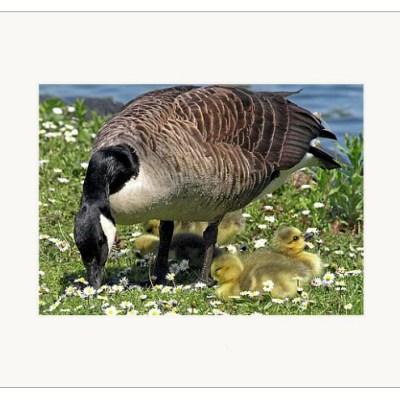 """Daisy Goslings - 5"""" x 7"""""""