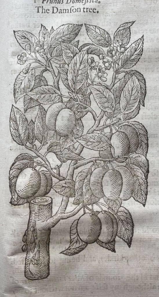 A sixteenth-century image of a damson tree