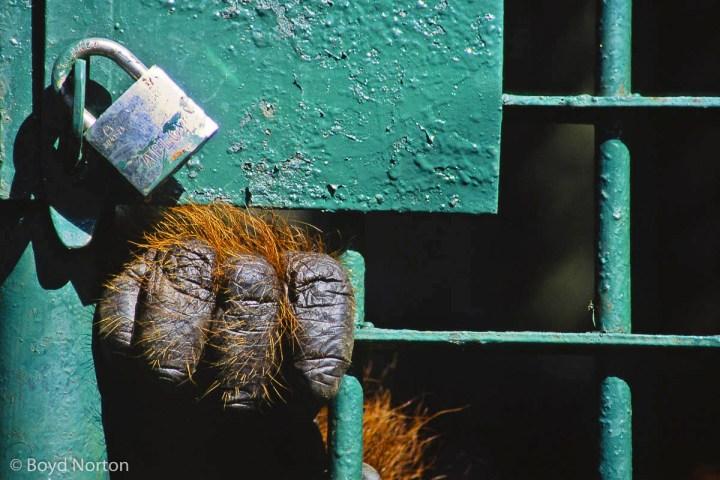Orangutan. Borneo rain forest.Semingoh Orangutan Sanctuary, Born