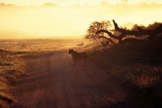 PHOTO_7-valley_lioness_Loveridge