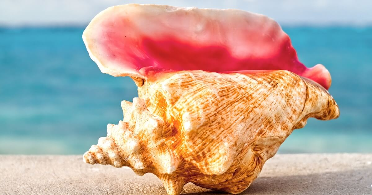 A Large Conch Shell From The Annual Turks And Caicos Conch Festival, One Of The Best And Most Popular Fall Events In Providenciales.