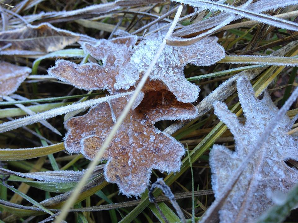 frosted-leaves