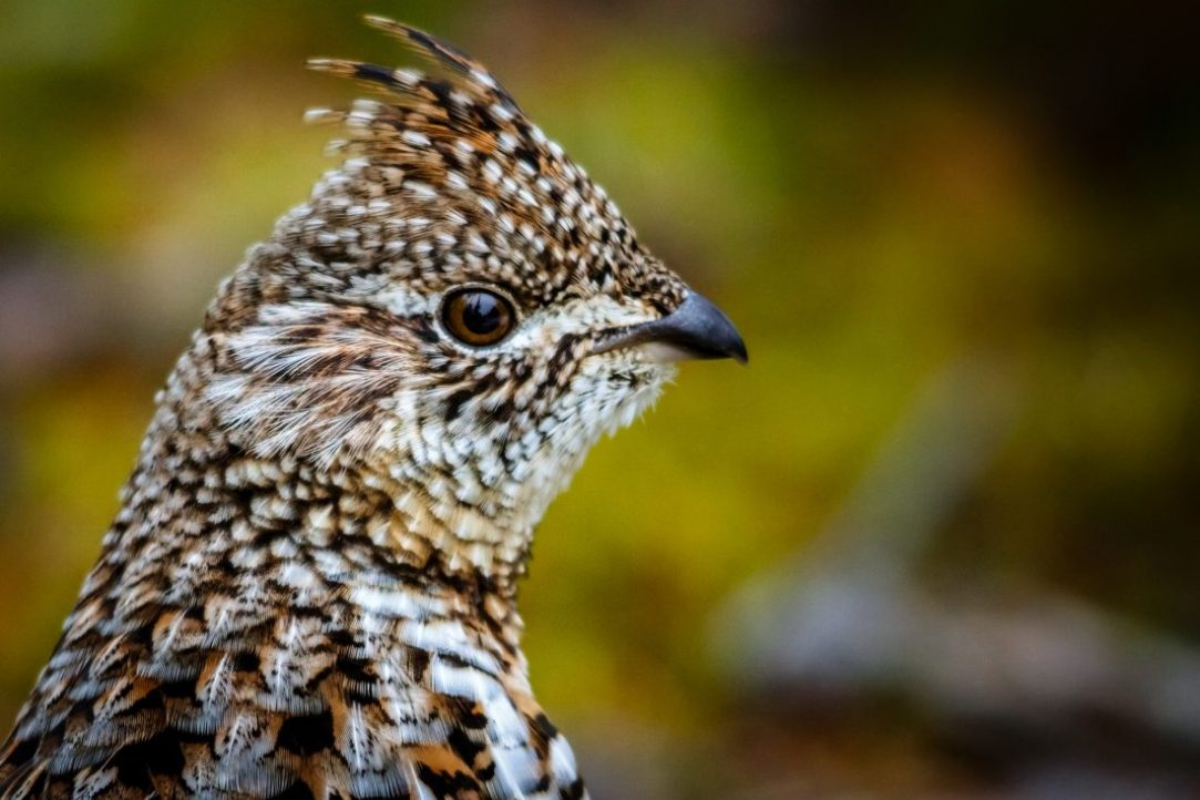 Hunting ruffed grouse: As simple as a walk in the woods