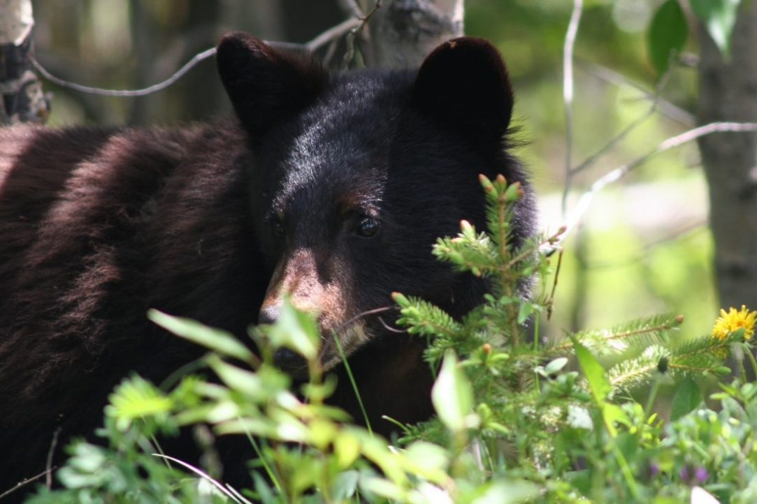 In the bear woods: A Montana guide's take on pursuing America's mightiest animal
