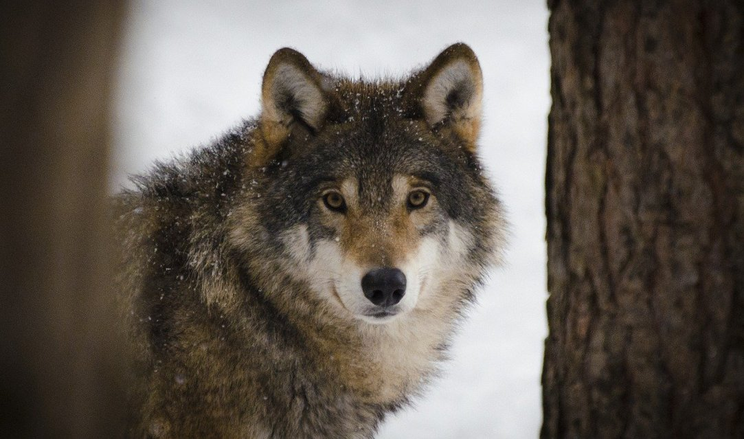 Is reintroducing wolves to their home ranges a good thing?