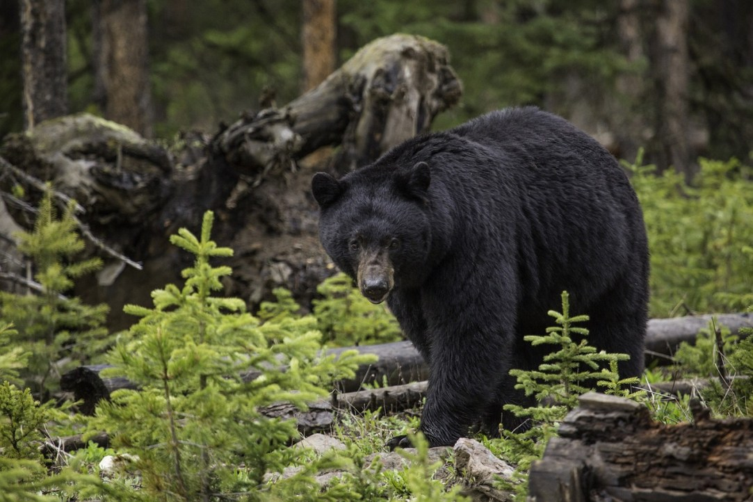 Bagging a black bear: Tips for taking the toughest game