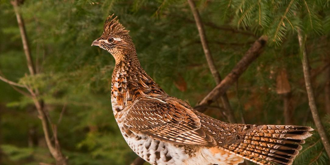 The grouse hunter's quick-reference photo guide