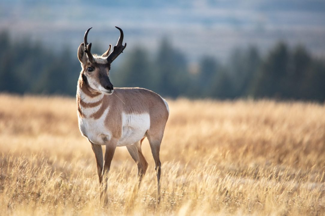 When an archery pronghorn hunt goes wrong