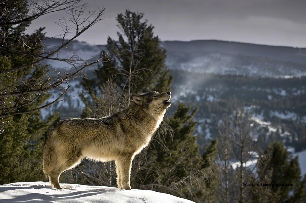 why do wolves howl